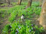 bluebells & dogs