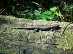 This is the biggest blue-tailed skink I've ever seen.  This lizard has to be a foot long from nose to tip of tail.
