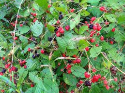 The blackberries are just starting to get good. Lots of red ones yet, but I've had a small bowl of ripe berries for two days in a row now.