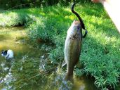 Fishing for bass with rubber worms is hard enough in this heat without Lucky foraging for frogs in the weed beds :)