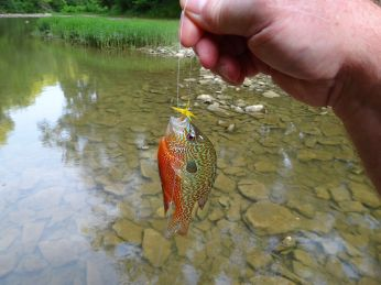 Tonight I was fly fishing for the little guys. Here's one of the more colorful pumpkin seeds I caught.