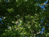 Cedar Waxwing.