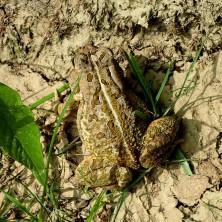 Hop toad.