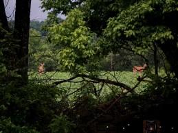 Deer in the bean field.