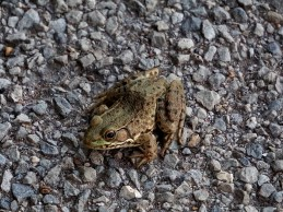 Frog in the road.