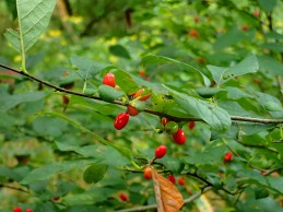 Spice bush berries starting to turn.