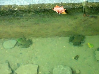 Frogs in the pool under the bridge.