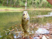 Nice little Rock Bass.
