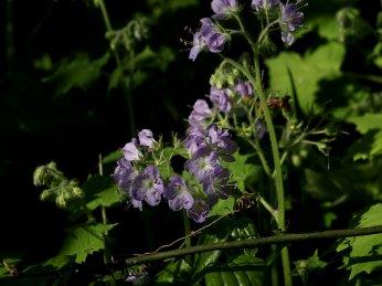 Wild geraniums.